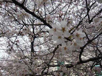 080329_sakura.jpg